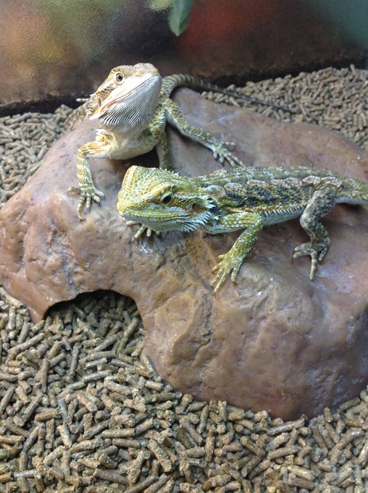 Reptile sale at sierra fish pets sierra fish pets for Sierra fish and pets