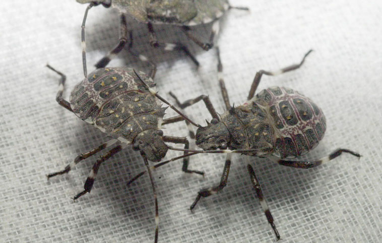 lexington 39 s residential pest control experts offer 3 tips for getting rid of stink bugs. Black Bedroom Furniture Sets. Home Design Ideas
