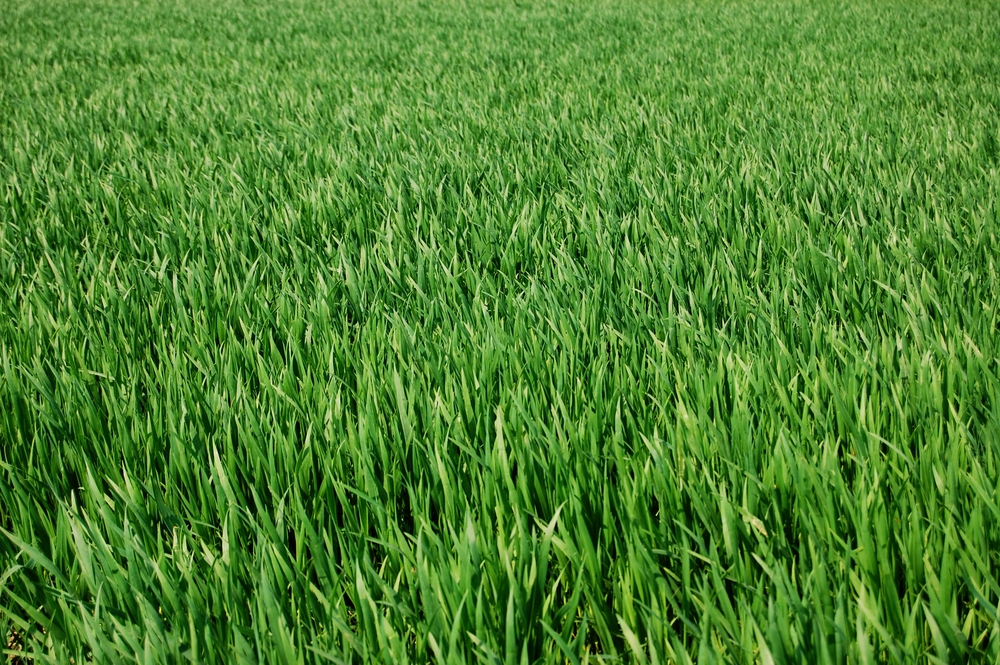 Treat Your Lawn With Pre Emergent And Fertilizer Now For
