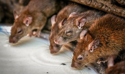 3 Key Facts About Rodents From Cincinnati's Pest Control