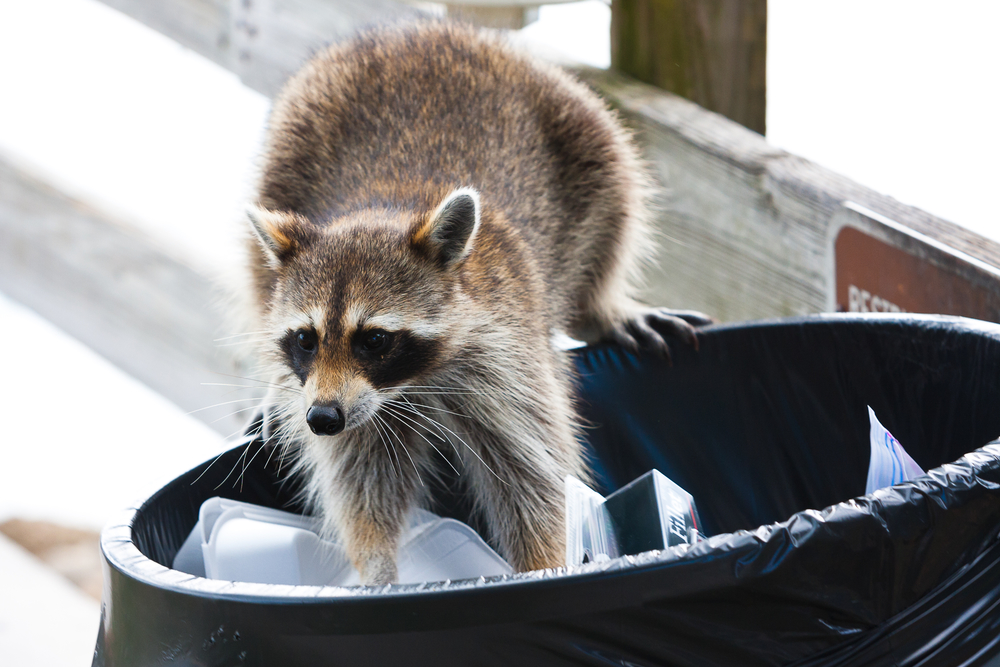 Raccoon control Cleves OH