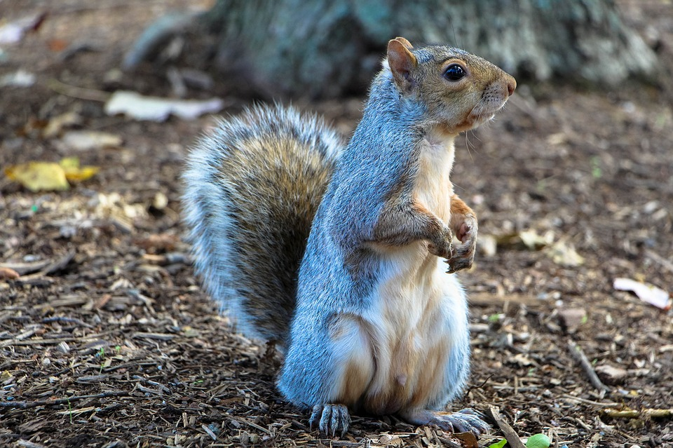 Squirrel Removal 101: How These Rodents Damage Your Home - 24-7 ...