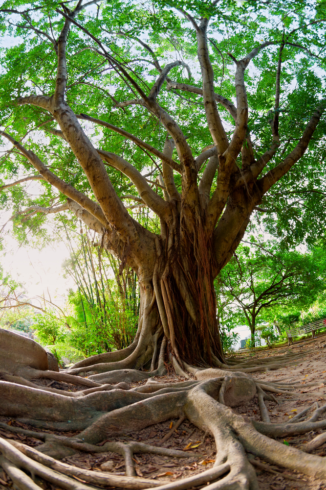 Oak Tree With Roots 5 Signs Your Tree Is D...