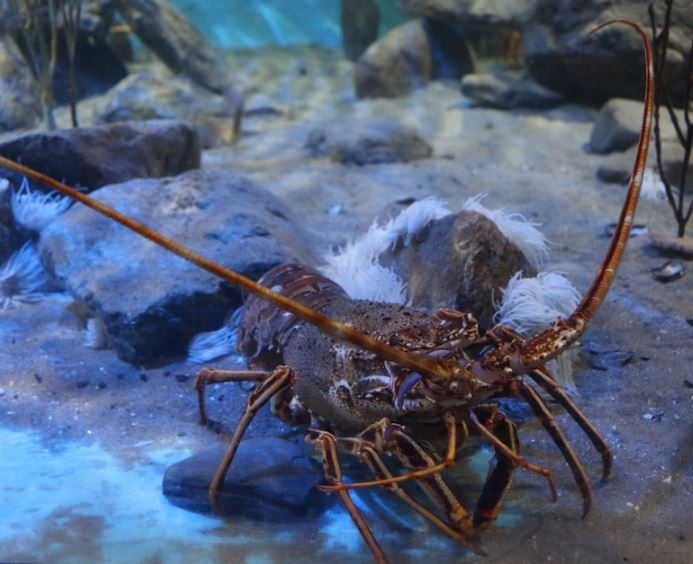 What are the best conditions for catching lobster for Tropic fish hawaii